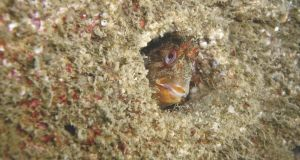'The Curious Blenny' taken by Brian Tormey, winner of the Nature and Wildlife category of the Clean Coasts Photography Awards 2013.