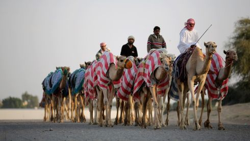 Camels arrive for the racing. Photograph: Christopher Furlong/Getty Images