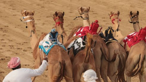 Camels surge forward at the start of a race. Photograph: Christopher Furlong/Getty Images
