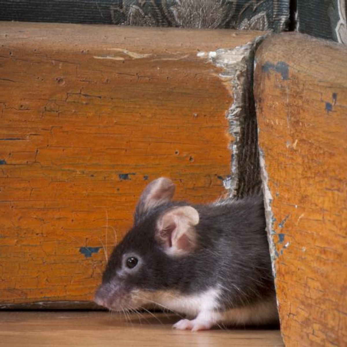 Rodent season: 'If you can poke a biro through a hole, a mouse can