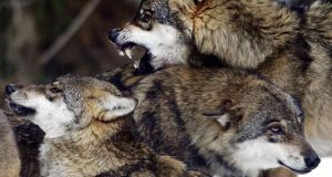 Two of five escaped wolves were shot dead, two returned and one is on the loose. Photograph: Reuters/Eric Gaillard