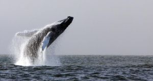 A humpback whale breaching in waters off Hook Head, Co Wexford. File photograph: Padraig Whooley/Irish Whale and Dolphin Group