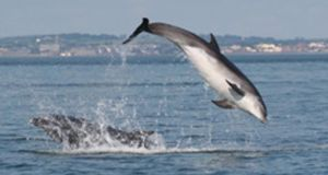 A bottlenose dolphin off Seapoint, Co Dublin yesterday. File photograph: Irish Whale and Dolphin Group