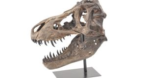 We've had antlers, deer, foxes and all manner of woodland creatures, so what's next for the trendsetting homeowner? A dinosaur skull, €195, could prove to be just the Indiana Jones-style archaeological themed talking point your home needs. This authentic-looking sculpture, 49cm by 29cm by 50cm, is made in resin and mounted on a black metal pole and stand, and looks like something  found on a dig. The head seen here, normally €195, is one of a selection of styles at Rowell Design (01 -5516912, rowelldesign.ie), 1 The Crescent, Donnybrook Road, Dublin 4. Irish Times readers who present today's column will be offered 20 per cent off the entire range. Offer ends December 15th.