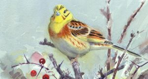 Branching out: yellowhammer, a farmland species. Illustration: David Daly