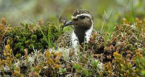 Sitting tight: a breeding golden plover. Photograph: Mick Durham