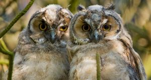 Eye spy: long-eared owl chicks, whose  distinctive calls, demanding food from their parents in late summer, helped recorders find and count them. Photograph: Chris Bale