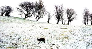 Sheep in a snow sprinkled field near Bellavary, Co Mayo today. Photograph: Frank Miller / The Irish Times