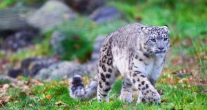 The yet-to-be named snow leopard at Dublin Zoo. Photograph:  Patrick Bolger