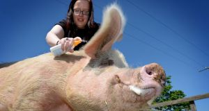 Snout in the sun:  Hollie Swift applying sun cream to Fergi the saddleback pig at the DSPCA in June. Photograph: David Sleator