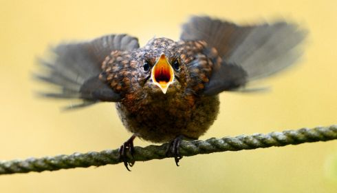 A robin chick in May, calling for food. Photograph: Cyril Byrne/The Irish Times