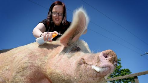 Hollie Swift, a member at staff in the DSPCA, applies sun cream to Fergi the saddleback pig in June at the society's facility in Dublin. Photo: David Sleator/The Irish Times