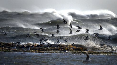 Sea birds  fly over the  waves off the Shellybanks near  Poolbeg. Photograph: Cyril Byrne/Irish Times