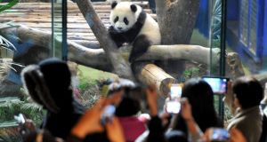 Yuan Zai, the first Taiwan-born baby panda, climbs a wood log inside an enclosure as visitors take pictures at the Taipei City Zoo in Taipei on   Monday. Photograph: Patrick Lin/Reuters