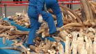 A worker walking on a pile of elephant tusks of confiscated ivory prior to crushing by Chinese customs officials  in Huangpu Port yesterday. Photograph: EPA