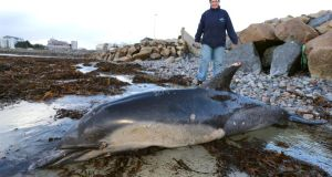 Dr Noreen Burke of the Galway Atlantaquaria, a board director of the Irish Whale and Dolphin Group, with the common dolphin  which was washed up on Grattan Road beach during the high tide and winds in Galway city. Photograph: Joe O'Shaughnessy.