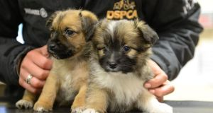 Two Pom-Terrier pups at the DSPCA on Mount Venus Road, Rathfarnham, Dublin. Photograph: Dara Mac Dónaill/The Irish Times