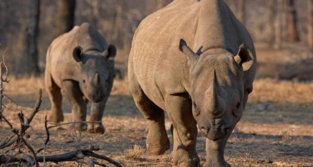 Permit to hunt black rhino in Namibia sells for $350,000