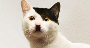 One of the internet's many 'cats that look like Hitler'