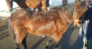 Just 10,711 horses were slaughtered last year, compared with 24,363 in 2012.
