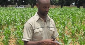PhD student Girum Azmach inspecting young maize plants in IITA high vitamin A maize field trial in Nigeria