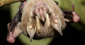 A bats-eye view of the world: The new world Watson's fruit bat, Dermanura Watsoni, in Costa Rica was studied to discover genes involved in its sense of smell. Photograph: Dr Sebastien Puechmaille