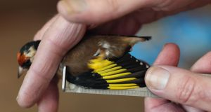 Data bank: measuring birds such as the goldfinch helps to provide a mass of scientific data. Photograph: Dan Kitwood/Getty