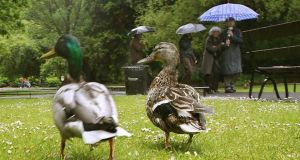 Weather for ducks, not gardeners. Photograph: Brenda Fitzsimons