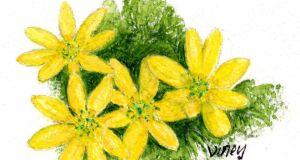 Looking in vain: lesser celandine needs the sun. Illustration: Michael Viney
