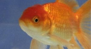 The Irish Society for the Prevention of Cruelty  has warned that eating live goldfish is a criminal offence.