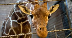 Marius the giraffe  pictured at Copenhagen Zoo at the weekend before he was put down. Photograph: Keld Navntoft/Scanpix/Reuters