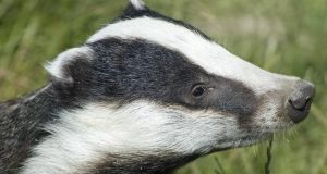 One night during January, a badger  squeezed himself in through the cat flap