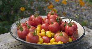 An assortment of tomatoes including 'Polen' and 'Dr Carolyn Pink'. Photograph: Richard Johnston