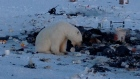 Bears graze on rubbish dumps in Resolute Bay