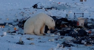 What's driving polar bears into the town dump?
