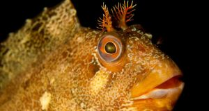 Tompot Blenny, Swanage, UK. Photograph by Jackie Campbell from her portfolio which has won the British Society of Underwater Photographers Open portfolio competition.