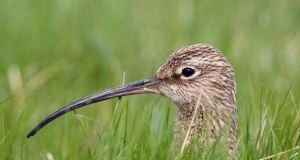 A curlew sits on its nest in the tall grass of the Shannon Callows. Photograph:  Mike Brown