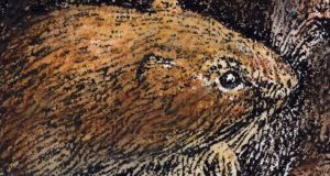 Bank vole: found in Kerry in 1964, it has reached Mayo. Illustration: Michael Viney