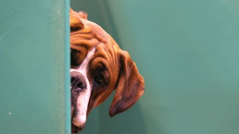 It's that time of year: A Boxer dog looks out from its kennel on first day of the Crufts dog show at the NEC, Birmingham. Said to be the largest show of its kind in the world, the annual four-day event features thousands of dogs, with competitors travelling from countries across the globe to take part. Photograph: Matt Cardy/Getty Images