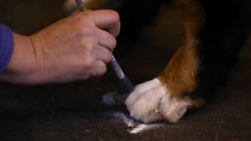 The canine grooming has to be spot on, darling. Photograph: Matt Cardy/Getty Images