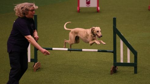 A bit of work happening at last: a dog jumps a fence in the Rescue Dog Agility show in the main arena on the first day of Crufts. Photograph: Matt Cardy/Getty Images