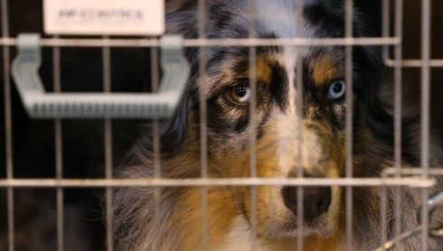 A caged Border Collie with a piercing stare. Photograph: Matt Cardy/Getty Images