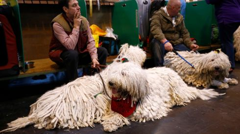 One of those rugs would look grand in front of the fireplace... Komondor dogs during the first day of proceedings. Photograph: Darren Staples/Reuters