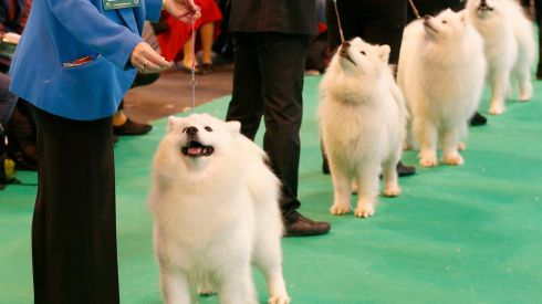 Samoyed dogs looking very clean indeed. Photograph: Darren Staples/Reuters
