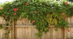 Replacing hedges immediately with a fence deals with security/protection issues that may be of concern to your neighbours