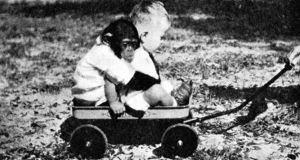 Gua the chimp and Donald Kellogg, who were raised alongside each other in the 1930s