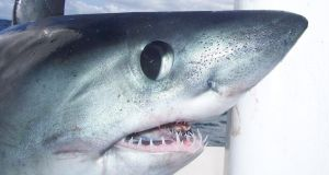 An image of a porbeagle shark caught recently off the Donegal  coast.
