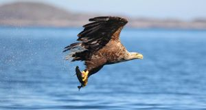 An adult white-tailed eagle catches a fish to feed her chicks. Photograph: Valerie O'Sullivan