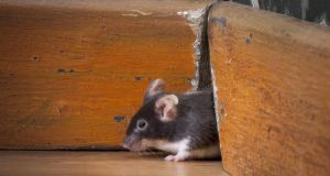Mice look for food and shelter most frequently in colder months