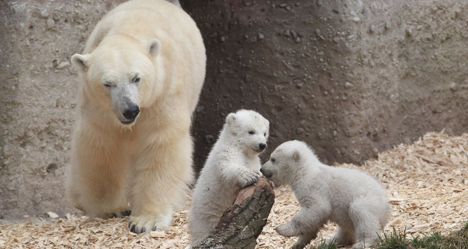 Huggable: Twin polar bear cubs